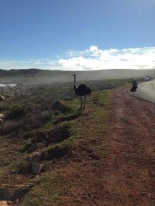 We saw an Ostrich at Cape Point